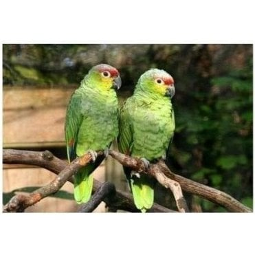 Birdline UK Parrot Rescue